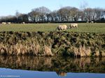 Sheep by the Canal